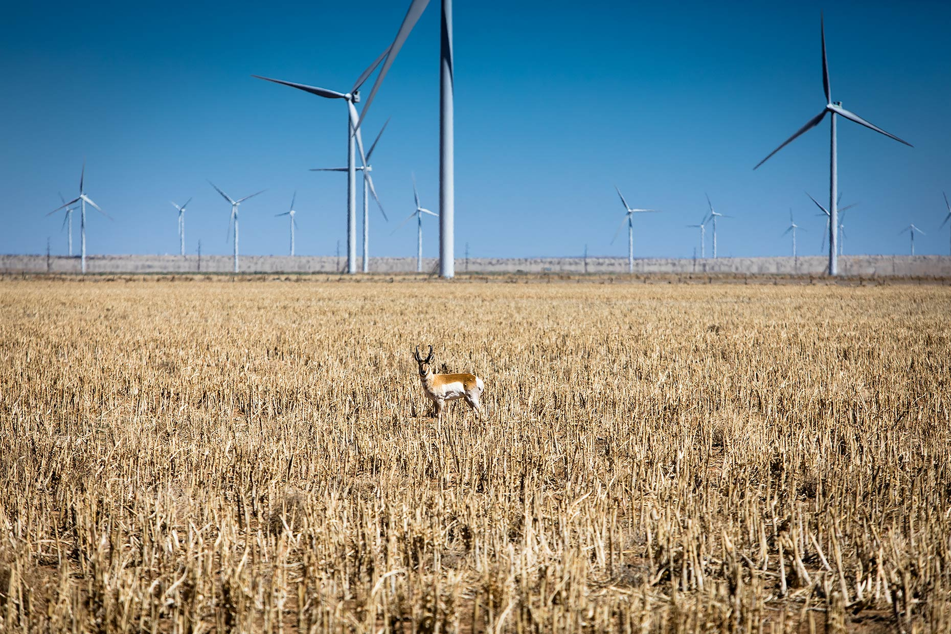 Antelope-in-windfarm
