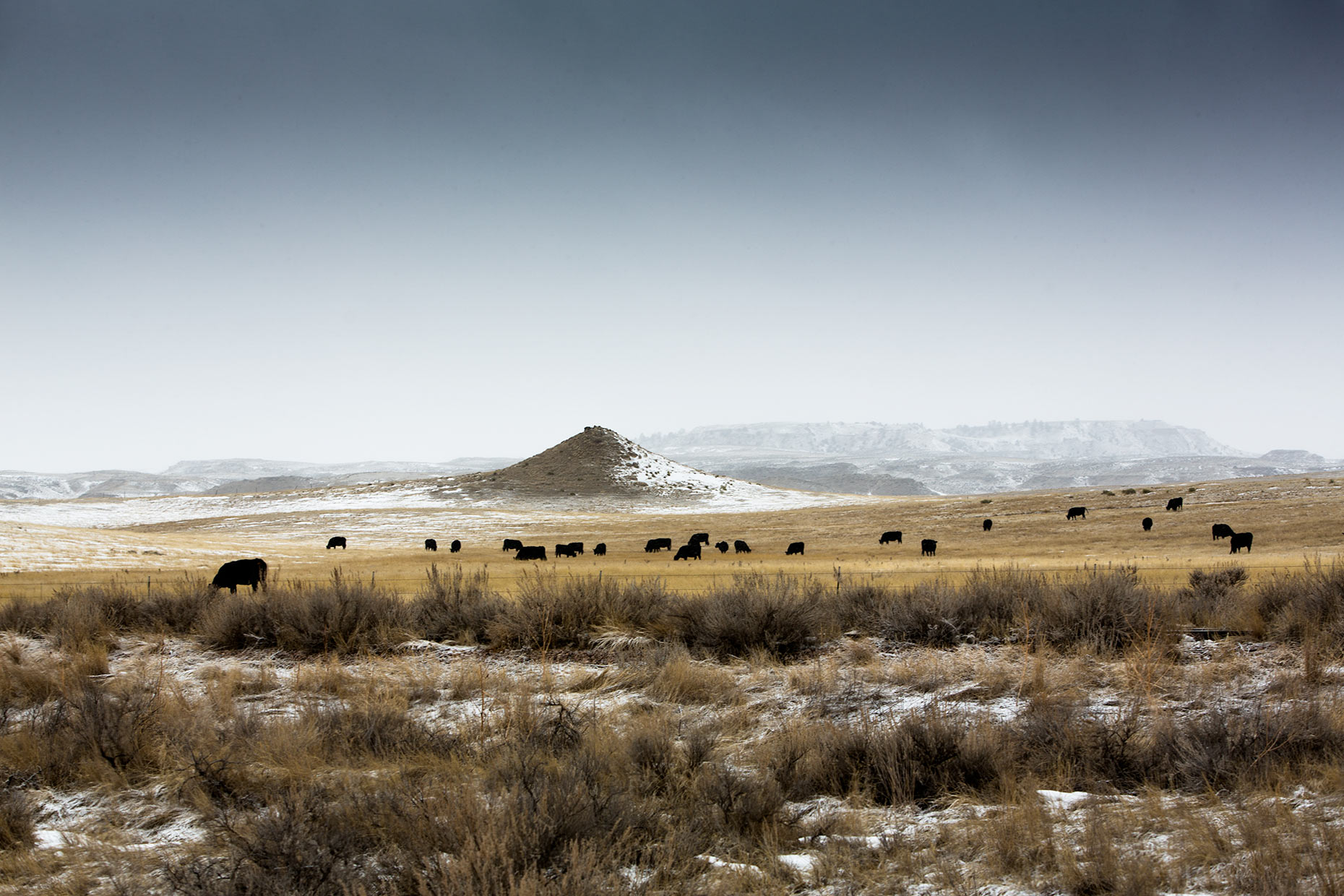 Cows-in-winter-prairie-scott-gable