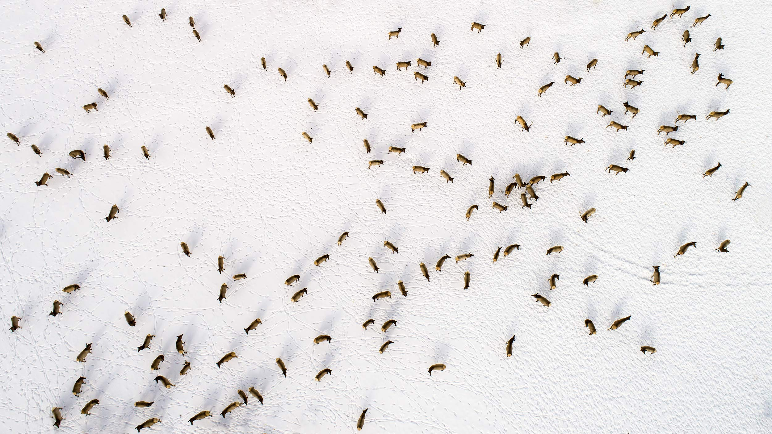 Aerial view of a herd of elk in the snow | Scott Gable industrial photographer