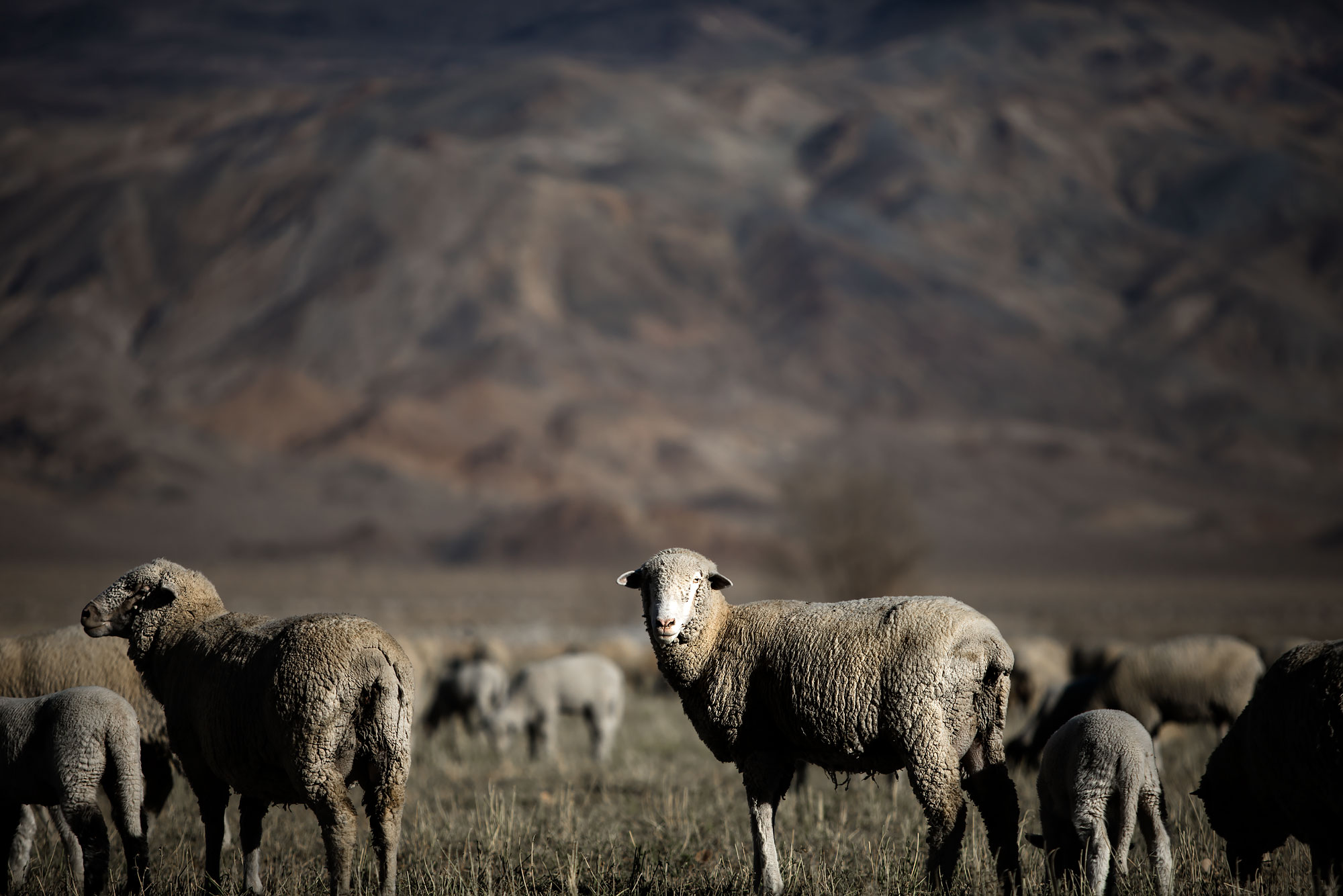 Flock of sheep grazing | Scott Gable industrial photographer