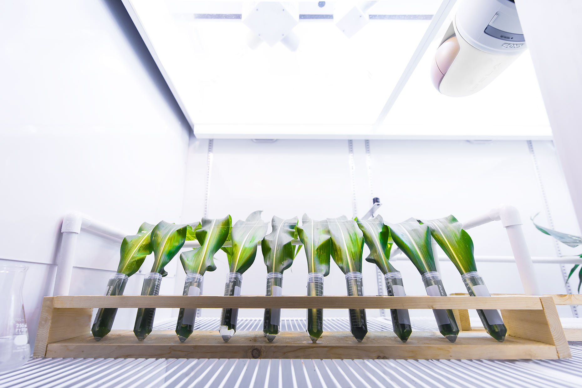 Samples of corn leaves are exposed to light in the laboratory | Scott Gable industrial photographer