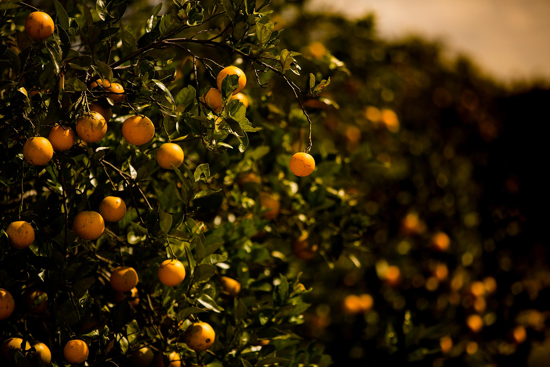 oranges-on-the-tree